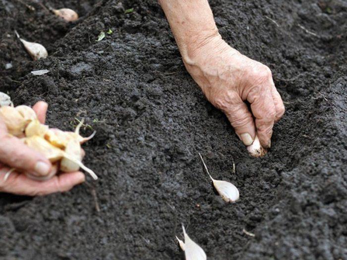 Садим чеснок на зиму