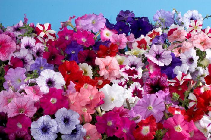 когда сеять петунии чтобы цвели в мае
