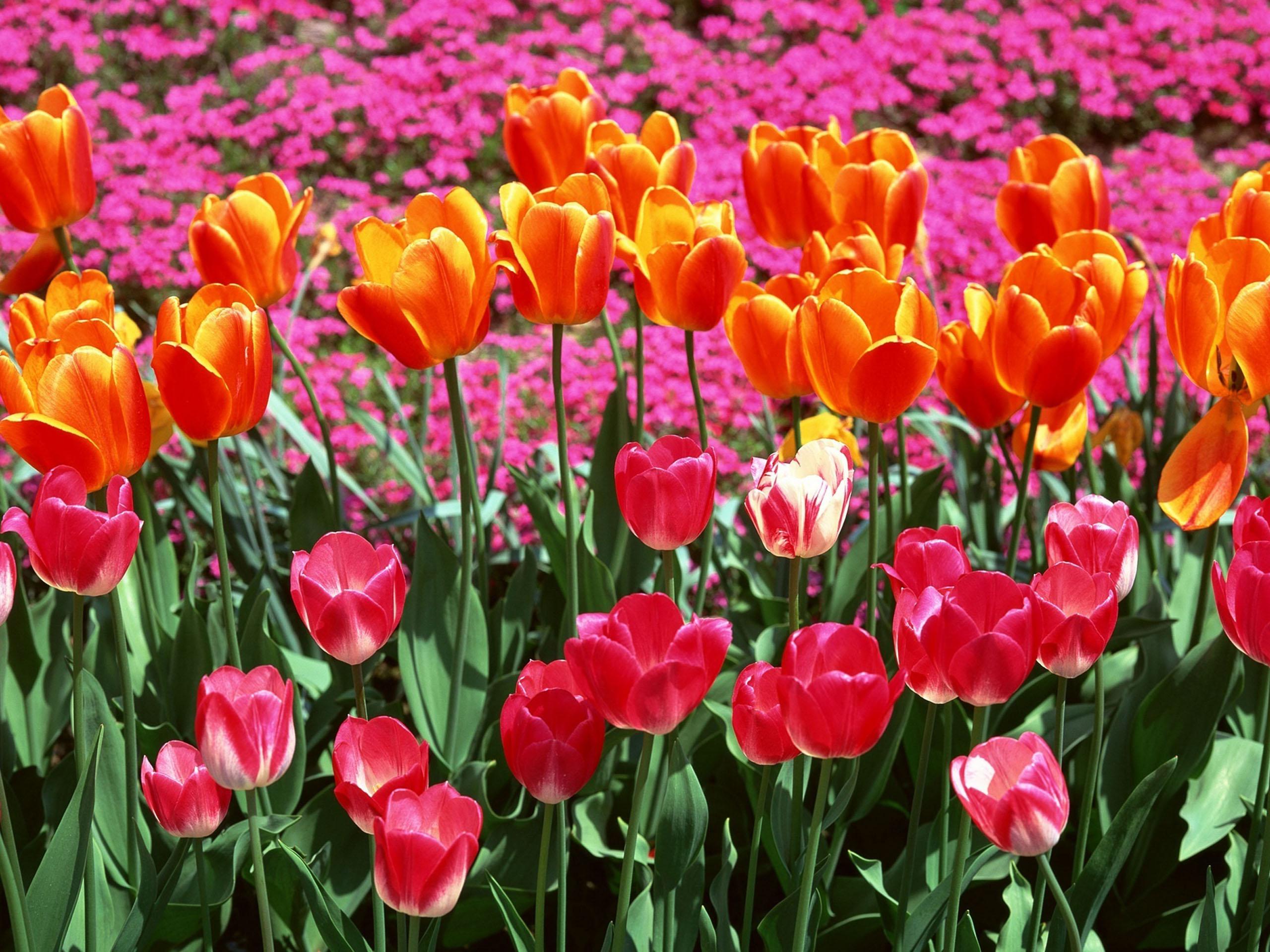 рад фото на рабочий стол цветы тюльпаны нее получается